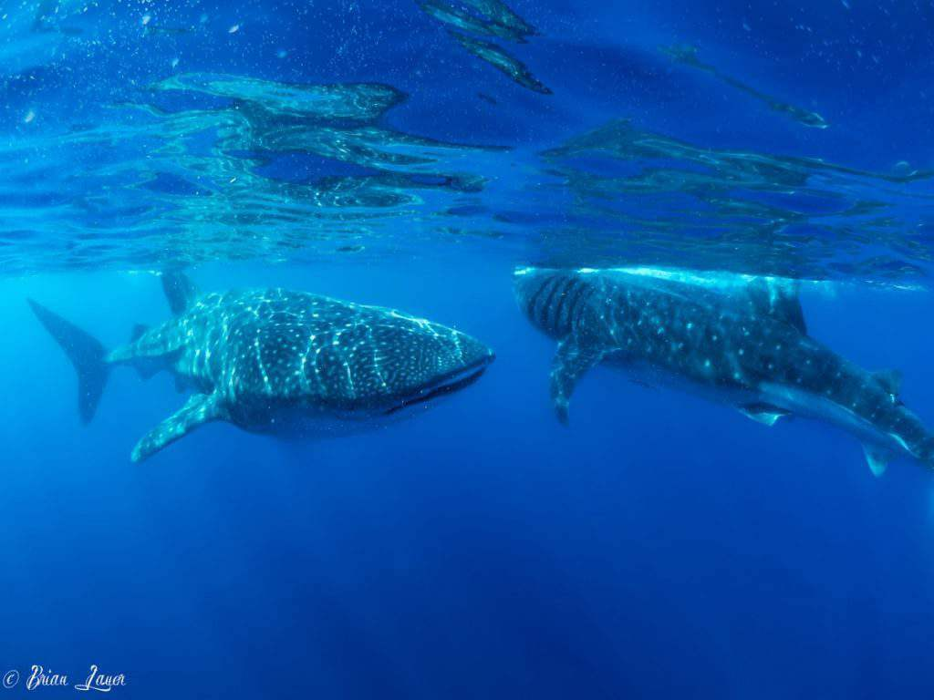Visit Cancun with Kids Swim with Whale Sharks-Kids Are A Trip