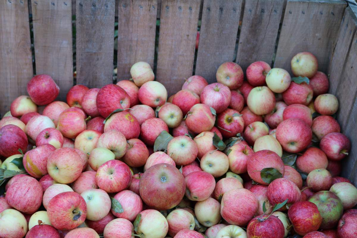 Family Fun Fall Activities in Chicago and Illinois Visiting Apple Orchard-Kids Are A Trip