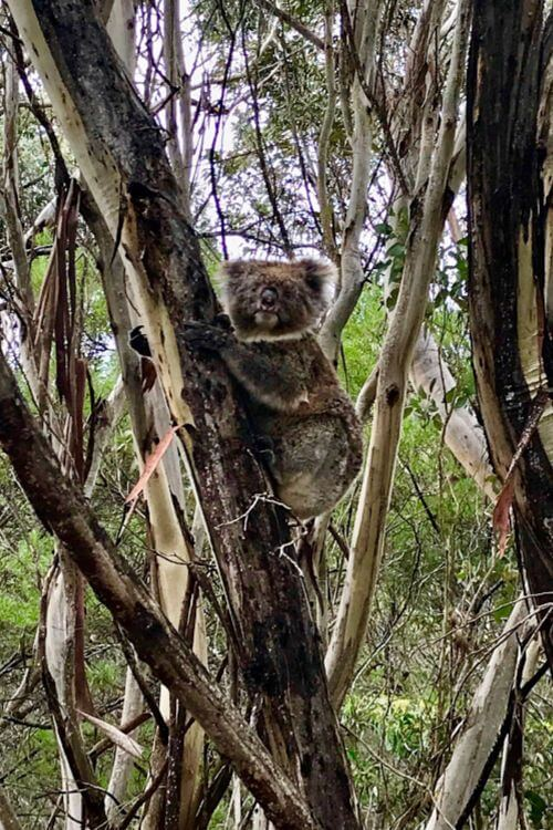 Koala Flinders Chase National Park-Kids Are A Trip