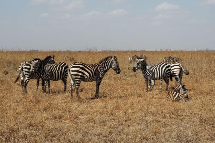 Nairobi-National-Park-Zebra-Kids-Are-A-Trip