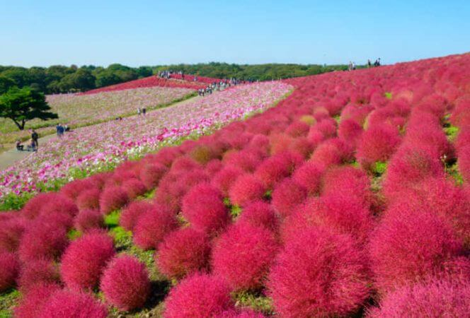 Autumn in Hitachi National Seaside Park Japan colorful flowers-Kids Are A Trip