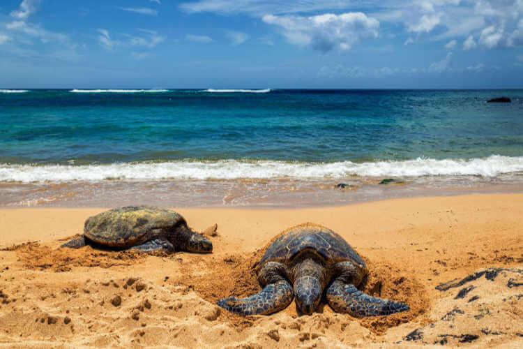 Laniakea Beach on Oahu