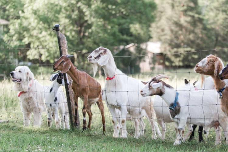 Goats on farm Flintstone Georgia