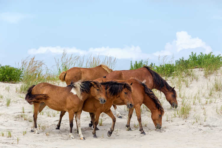 Asseteague horses on island beach