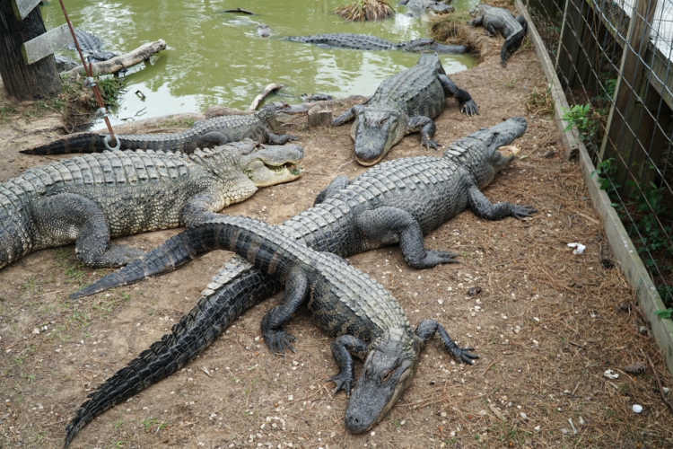 Gator Country Beaumont Texas