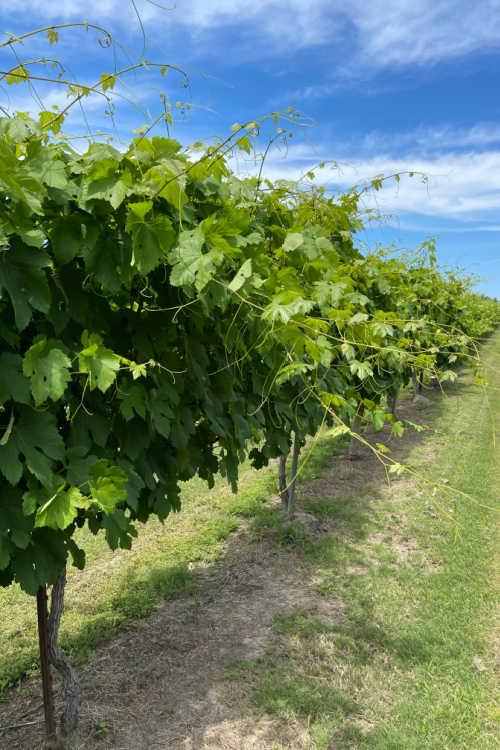 Vineyards Messina Hof